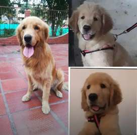 Raza Golden