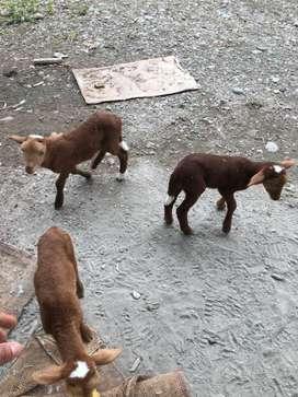 Benta de ovejas