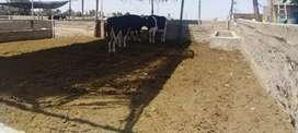 Vendo vacas lecheras en majes