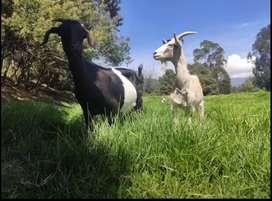 Venta de leche de cabra