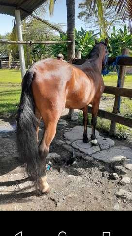 Vendo magnífico caballo reproductor y mejor para cabalgata, maracanazo