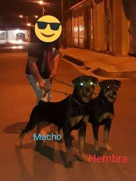 Rottweiler Aleman Hembra