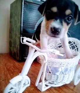 Vendo Fox terrier pelo liso cachorros