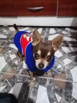 Chihuahua servicio