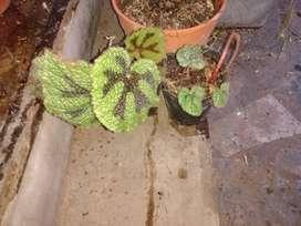 Begonias planta