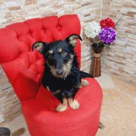 Bruno. Hermoso cachorrito tamaño pequeño en adopción