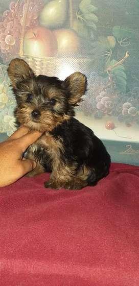Linda yorkshire  terrier bebé linda macho más economico