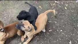 Cachorros Fila Brasileros