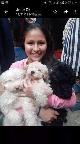Vendo poodle cachorros