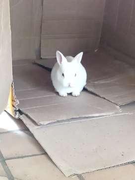 Conejos mini rex