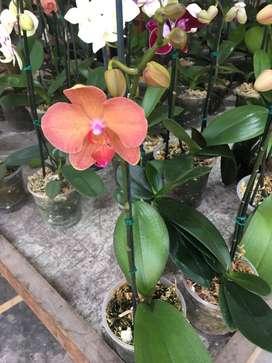 orquideas holandesas precio por mayor y menor