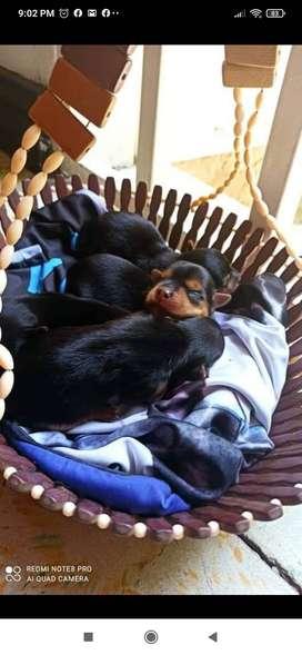 Hermoso cachorro Yorkie Terrier