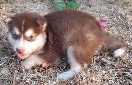 cachorritos siberianos