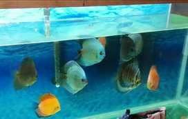 Vendo peces disco adultos hay 10 precio 3000000 negociables o se cambian por accesorios para acuario