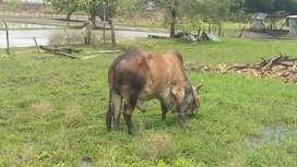 vendo toro excelente genética gyr-brahman