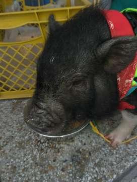 Mini pig favorable