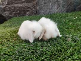 Rabbits de raza