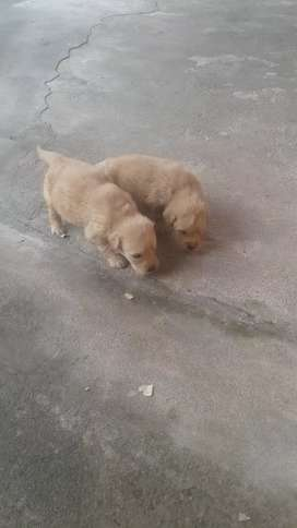se ven golden retriber