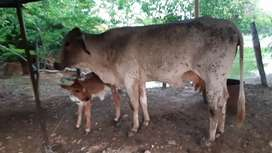 Venta de vacas próximas y paridas en aguachica