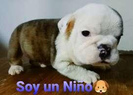 Hermoso cachorro Bulldog ingles.