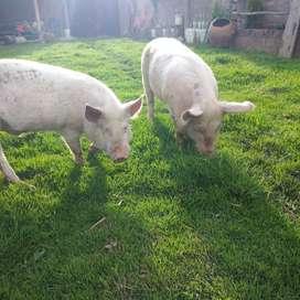 Cerdos para cria