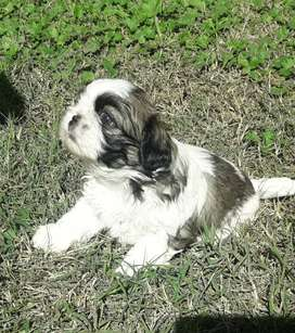 Shih tzu Cachorros Reservas