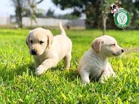 Cachorros Labradores en Pet Vital