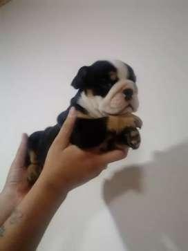 Bulldog hembra Black tri