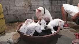 Bull terrier miniatura inglés