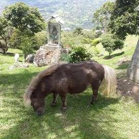 Ponis minis horses