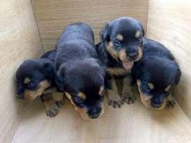 Vendo Excelente Cachorros Rottweiler