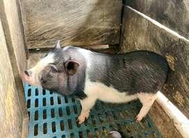 Criadero buenavista Cerditos  mini pig raza juliana queda el último 300.000 mil pesos
