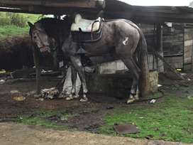 Montas de caballo español