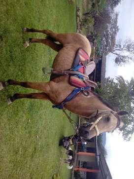 Vendo hermoso caballo buen brío