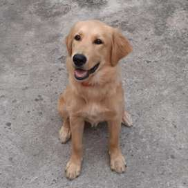 Vendo Cachorro Golden Retriever Hembra