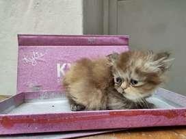 Se vende gato