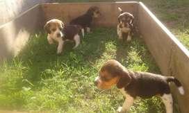 Beagles  50 días