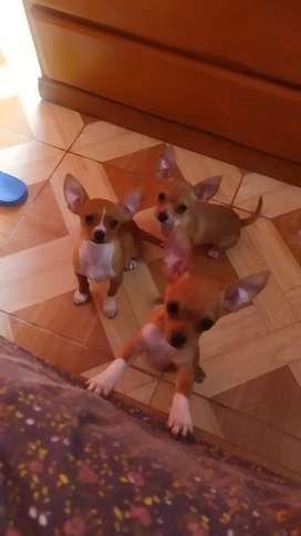Chihuahuas macho y hembra