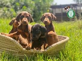 Doberman cachorros en Pet Vital Peru
