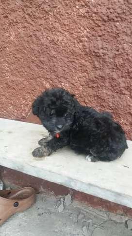 Vendo perrita french poodle negro