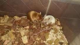 Ratones satinado