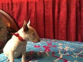 Bull terrier ingles  papas ala vista puros albinos