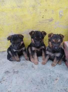 se vende Cachorras pastor alemán hembras
