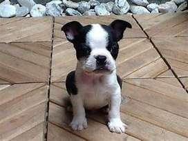 Ven pronto por tu cachorro Boston terrier certificados