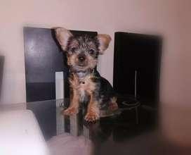 Cachorrita yorkshire terrier mini