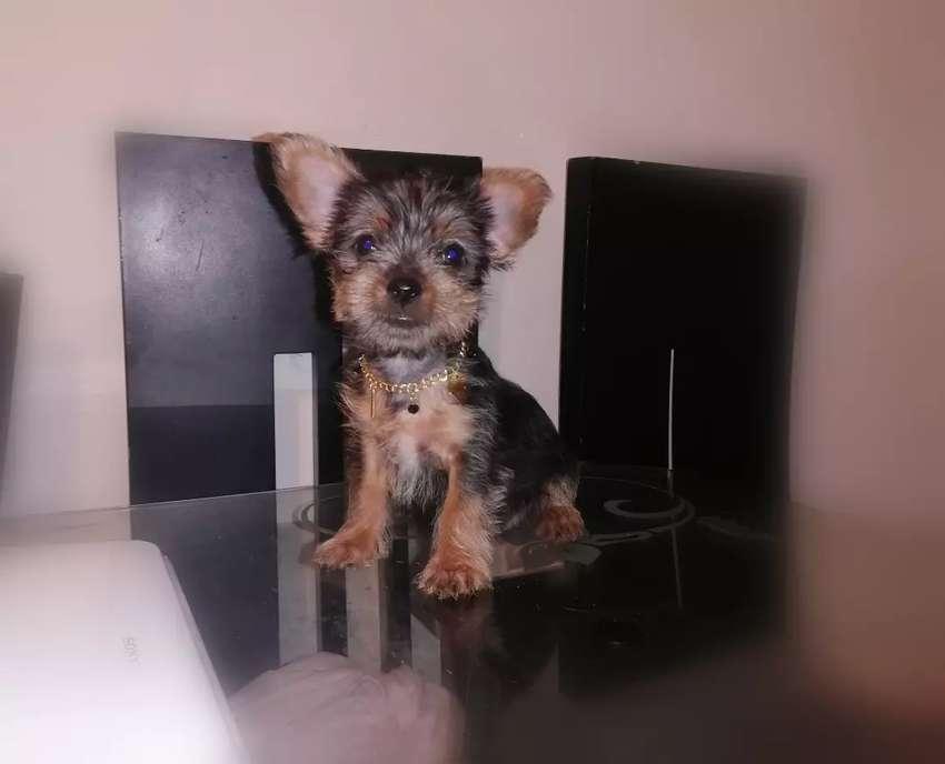 Cachorrita yorkshire terrier mini 0
