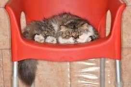 Gato persa angora busca novia Monta
