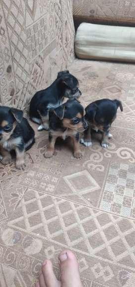 perritos de raza.
