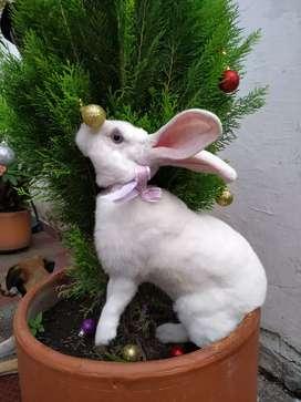 Se vende hermosa coneja anti-alergica ojo azules