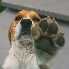beagle busca novia